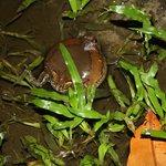 те самые мычащие лягушки