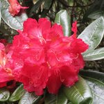 Scarlet rhododendron