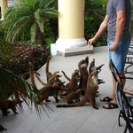 At least 30 coatis!