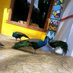 Peacocks at El Sombrero Restaurant