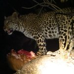Spotlight view of leopard devouring it's night time snack