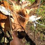 Богемский олень подпитывается в руки богемы с Урала