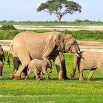 Amboseli Elephants are numerous - thankfully