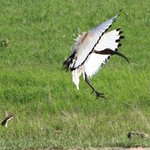 Incoming Ibis