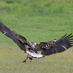 A young fish eagle