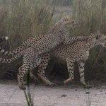 Cheetahs in the mist