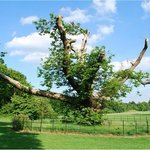 The Sweet Chestnut in summer dating from 1518