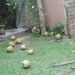 Tender Coconuts, right from the tree