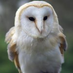 Dangerous Dave the barn owl