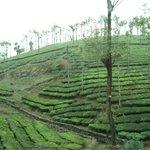 Tea-Estates - Munnar