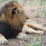 lion on the game drive