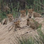 lions on the game drives