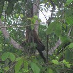 A spider monkey in a tree near the hotel