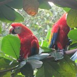A pair of Scarlet Macaws right in front of the dining room
