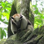 A tamandua in Corcovado National Park