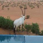 Oryx près de notre piscine privée