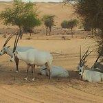 Groupe d'oryx à proximité de l'hôtel