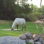 Oryx broutant à côté de la piscine de l'hôtel