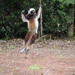 Lemurs in the resort grounds