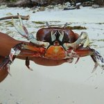 Land Crab on Therese Island...
