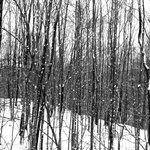 Shirakaba (white birch) trees