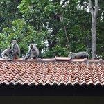 monkeys on roof