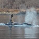 Orca bulls