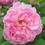 Rose area