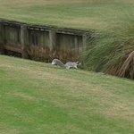 Squirel at hole 10 at the Man O'War Golf course