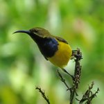 Olive-backed Sunbird (endemic in North Queensland)