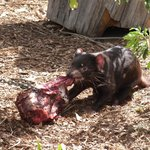 Tasmanian Devil feeding time