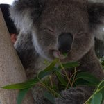 Koala enjoying some eucalyptus leaves
