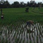 Reisbauern vom Frühstück aus zu sehen
