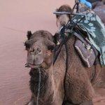 resting lead camel