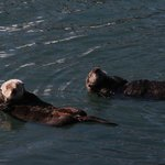 Playful sea otters right down the street