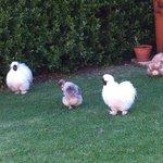 inn chickens in garden
