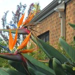 Beautiful Bird of Paradise outside our bedroom window