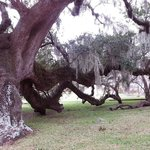Massive old live oak, branches on (and under) the ground