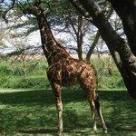 Lunch with pet giraffe
