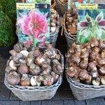 Bulbos de tulipas