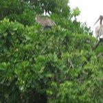 Brown Pelicans in Los Haitises