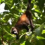 Howler monkey in Saladero