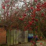 Winter berries in the car park