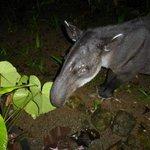 Tapir visiting the lodge at midnight