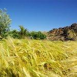 champs de céréale en plein désert
