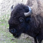 Up close and personal visit with a Bison beside the road
