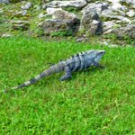 the resident iguana
