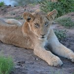 Lion cub - during the Mohlabetsi safari
