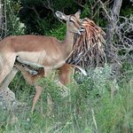 Mother and baby Impala