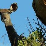 Inquisitive young Kudu